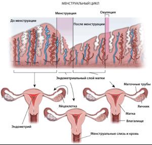 На картине показана структура и размер эндометрия в разные фазы цикла, а также матка в разрезе