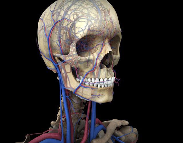 шея и череп человека с обозначенными сосудами