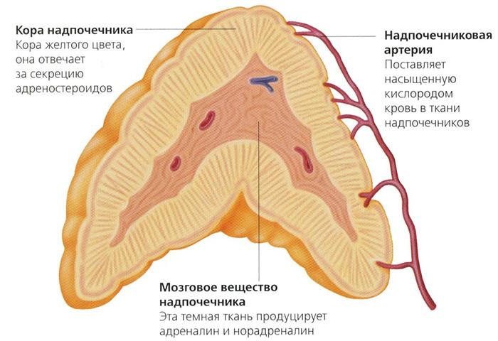 Надпочечник в разрезе с обозначением его коры желтого цвета и внутреннего мозгового вещества