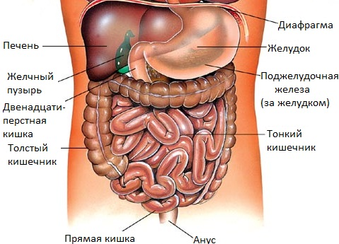 На рисунке изображены органы и их названия