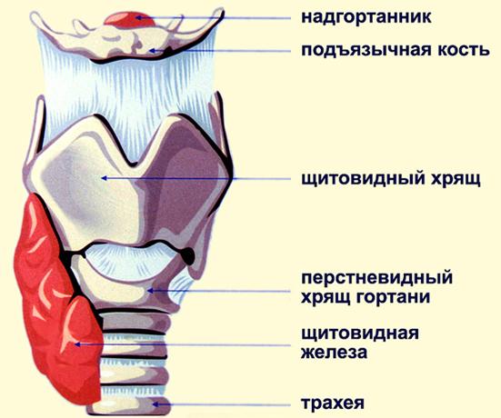На рисунке схематичное изображение строение гортани(надгортанник,подьязычная кость,щитовидный хрящ, перстневидный хрящ гортани, щитовидная железа, трахея)