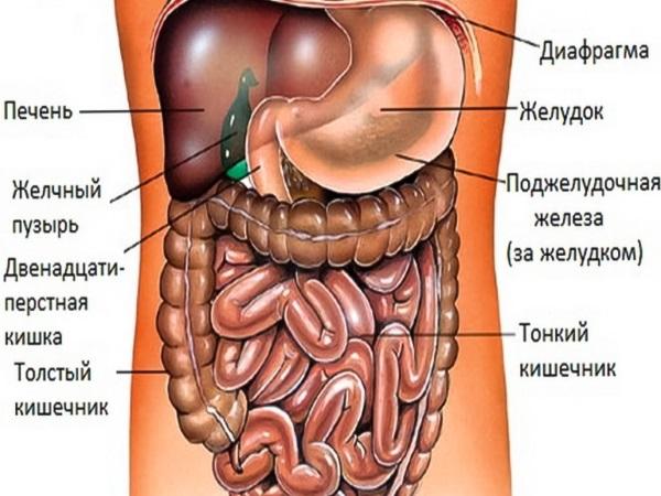 схематическое изображение внутренних органов